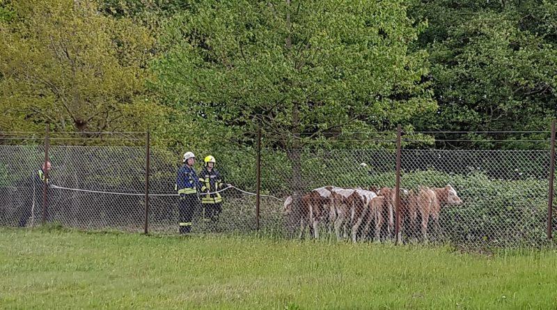 12.05.2020: Rinder eingefangen